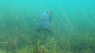 Karpfen im Kulkwitzer See